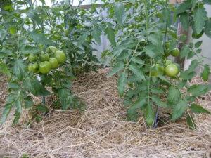 Mulchschicht aus Stroh unter Tomatenpflanzen