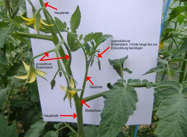 Anleitung für das Ausgeizen von Tomaten