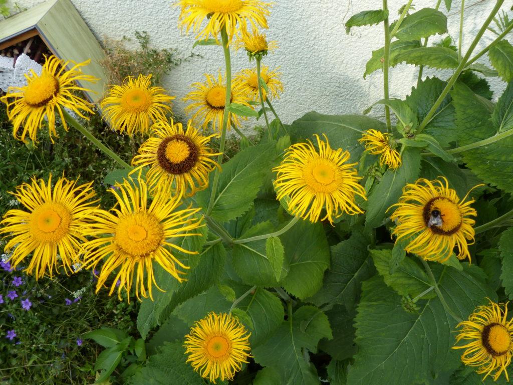 Bienenfutterpflanze Alant